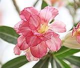 Wüstenrose Zwiebeln Bio Blumen Bonsai Blumen Frischer Duft-3 Zwiebeln