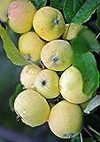 Miniapfel Gold Kitaika, Apfelbaum Uralskoe nalivnoe, Китайка Золотая