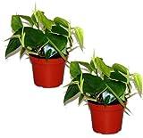 Kletter Philodendron, (Philodendron scandes), Baumfreund, grünes Blattwerk, rankend, Ampelpflanze, luftreinigend (2)