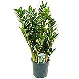 Pflanzen Kölle Kompakte Glücksfeder, Zamioculcas zamiifolia 'Lucky', Gesamthöhe ca. 40 cm