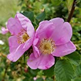 Müllers Grüner Garten Shop Glanz-Apfelrose Böschungsrose Rosa rugotida Wildrose offene Blüte Heckenrose, ca. 40-60 cm, 3 Liter Topfballen