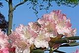 Ball-Rhododendron Loreley - Rhododendron yakushimanum Loreley (25-30)