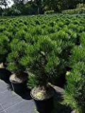 Bosnische Zwergkiefer Malinki - Pinus leucodermis Malinki 25-30cm Preis nach Größe 80-100