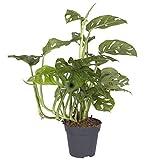 Pflanzen Kölle Fensterblatt, Monstera adansonii 'Leichtlinii', Gesamthöhe ca. 25 cm
