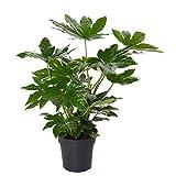 Zimmeraralie ca. 100 cm Fatsia japonica Zimmerpflanze
