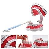 LBYLYH Zahnpflege-Vorlage Menschliche Mundhöhle Zahnvorlage Zahn kann das Ressourcenwissenschaftsunterricht-Werkzeug für das Schulwerkzeug frei demontieren