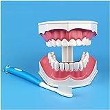 QULONG Zähne Anatomisches Modell Zahnstudie Lehrmodell Zahnzahnmodell mit Zahnbürste Zahnarzt-Lehrmodell