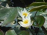 Zwergseerose im Pflanzkorb - Nymphaea 'Walter Pagels', weiß - Wasserpflanzen W