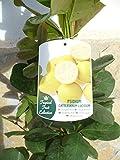 Eine Pflanze, Zitronen-Guave - Psidium Lucidum, Gesundheitsfrucht 110-125 cm