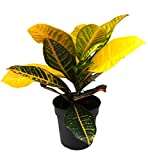 Wunderstrauch - Croton, (Codiaeum variegatum), buntlaubige luftreinigende Zimmer und Büropflanze, (im 19cm Topf, ca. 50cm hoch, Sorte: Petra (gelb-grün))