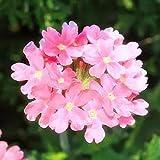 Fnho Mehrjährig Blumen,Blumensamen für Bienen,Vier Jahreszeiten leichte Blumen, Gartenbalkon grün-Pink_200g