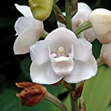 XQxiqi689sy 1 Beutel Samen hohe Überlebensrate, schnelles Wachstum, kleine hochertragende Zinnien Elata Haken Garten Samen Peristeria Elata Haken Samen