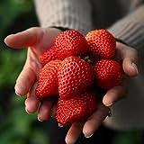CHTING 400 Stück Erdbeersamen Frische Früchte Selbst Angebaut Keine Notwendigkeit Für Viel Erfahrung Familienpflücken Bringen Spaß Beim Pflanzen Der Familie