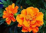 Ringelblumen Samen Weltberühmte Blumen Wunderblume Mehrjährige Blume-100 Pcs
