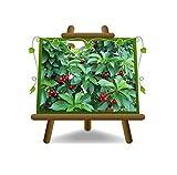 Zwergkirsche New Star - Obstpflanze auf Blumentopf 20 - Baum max 170 cm – 2 Jahre Anbau I