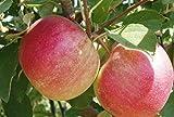 Zwergapfelbaum Jonagold, mittelgroße süße Früchte, Zwerg-Apfelbaum ca.140/160