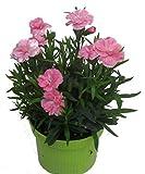 Dianthus caryophyllus rosa- Teneriffa-Nelke Duftpflanze im 11 cm Topf winterharte Staude für Zimmer und F