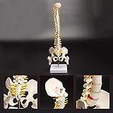 Skeleton 45 cm flexibel 1: 1 erwachsene lumbal biegung wirbelsäule modell humans skeleton manikin mit spinalscheibe pelvis modell ausgenutzt Knochenmodell (Color : White, Size : One size)