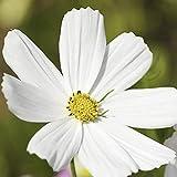Erstellen Sie Natürliche Garten Geeignete Anfänger Erste Wahl Üppiges Wachstum Ohne Zu Viel Pflege 150PCS Pure White Cosmos Seeds GLTING