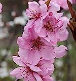Zierpfirsich Spring Glow 100-125cm - Prunus persica