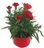 Dianthus caryophyllus rot- Teneriffa-Nelke Duftpflanze im 11 cm Topf winterharte Staude für Zimmer und F
