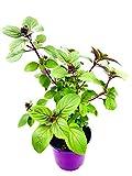 Kräuterpflanze FLORAPARTNER Strauchbasilikum African Blue Ocimum kiliman.x basilicum 2er Set