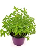 Zitronen Verbene Lippia citriodora Tolle Tee Kräuterpflanze!!! 2stk.
