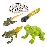 TOYANDONA 1 Set Kinder Biologie Wachstum Zyklus Modelle Spielzeug Lernen Pädagogisches Spielzeug Wissenschaft Spielzeug für Kinder Kleinkinder