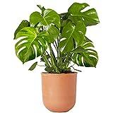 40-50cm Zimmerpflanze im Topf   Monstera Deliciosa Fensterblatt