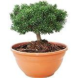 Mammutgarten Pinus Zwerg Kiefer Grün 15-20 cm