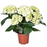 Hortensie   Hydrangea Macrophylla Weiß - Freilandpflanze im Anzuchttopf ⌀13 cm - ↕30-40 cm