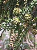 Sicheltanne Cryptomeria japonica Pflanze 35-40cm Sugi Japanische Zeder Zyp