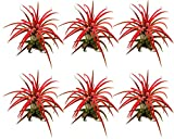Tillandsia ionantha | rot | Luftpflanze | Zimmerpflanze | Urban Jungel | Zimmerpflanzen indoor | Tillandsien Pflanzen echt | Größe 7 cm (6)
