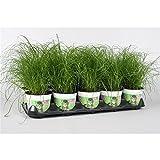 Blumen-Senf Katzengras 1 Pflanze - Cyperus alternifolius Zumula - zur Verdauungsunterstützung