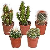 5er Set Kakteen Deko | Kaktus Zimmerpflanze | Kleine Kakteen | Höhe 7-14 cm | Topf-Ø 6