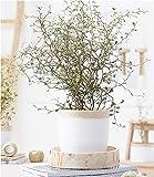 BALDUR-Garten Maori® Sophora Cotoneaster Little Baby,1 Pflanze Zimmerpflanze Schnurbaum Zimmerpflanze