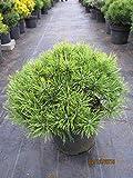 Zwergkiefer Möpschen - Pinus mugo Möpschen