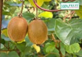 selbstfruchtende Kiwi Pflanze, (Actinidia deliciosa), Sorte: Jenny, kräftige winterharte Pflanze, (ca. 30cm hoch, im 12cm Topf)