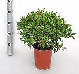 Blume von Botanicly – Zylinderputzer – Höhe: 45 cm – C