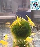 Topbilliger Tiere Yellow fire Garnele Neocaridina - 10X