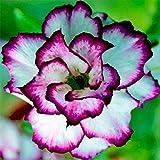Mysteriös,Immerpflanzen,Gartenblumen,Sentimentale,Anpassungsfähig,Seltene Pflanzen,Wüstenrosen Zwiebeln-4 Zwiebeln