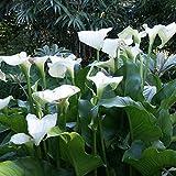 Pflanzen Sie jetzt,Calla Lilie Zwiebeln,Magische Zierpflanze,Schöne Zierblumen,Gartenbepflanzung,Blühende Pflanze-3 Zwieben