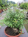 Prunus incisa Kojou no mai - Zierkirsche Kojou no mai
