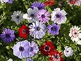 Blumenzwiebeln für Frühlings-, Sommer- und Herbstblüher (10, Anemonen Coronaria De Caen)