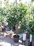 Zitronenbaum (Citrus limon) Gross - dicker Stamm