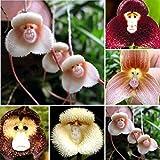 100/200 Stück entzückende Affengesicht-Orchideensamen, Gartenpflanze, Bonsai-Dekoration, 100 Stück Affengesicht-Orchideensamen für Frauen, Männer, Kinder, Anfänger, Gärtnergeschenk