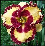 Taglilien Zwiebeln,Mach Leute GlüCklich,WeltberüHmt,Einfache Pflege,Zierpflanzen,Exquisite Schnittblumen-2 Zwiebeln