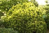 Pinus mugo Ophir - Gelbe Zwergkiefer - Bergkiefer Op