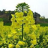 Einfach zu pflanzen in den vier Jahreszeiten, aus lebenden Blumen, 300 grünen Zierraps-Samen-ausgezeichnet_März Gelb 300 Kapseln