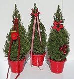 Picea glauca Conica Zuckerhutfichte in weihnachtlicher Dekoration 60-70 cm Preis nach Stückzahl 20 Stück